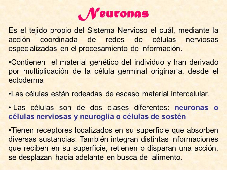 Neuronas Es el tejido propio del Sistema Nervioso el cuál, mediante la acción coordinada de redes de células nerviosas especializadas en el procesamie