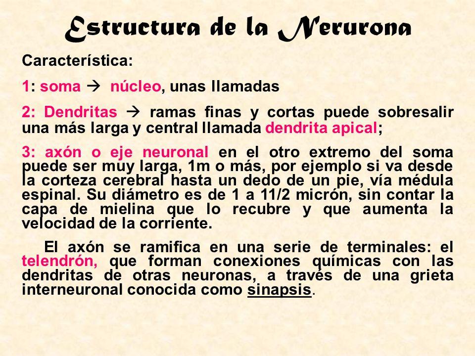 Estructura de la Nerurona Característica: 1: soma núcleo, unas llamadas 2: Dendritas ramas finas y cortas puede sobresalir una más larga y central lla