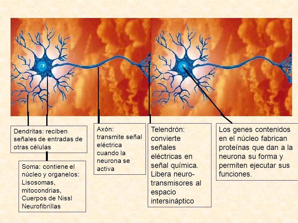 Dendritas: reciben señales de entradas de otras células Soma: contiene el núcleo y organelos: Lisosomas, mitocondrias, Cuerpos de Nissl Neurofibrillas