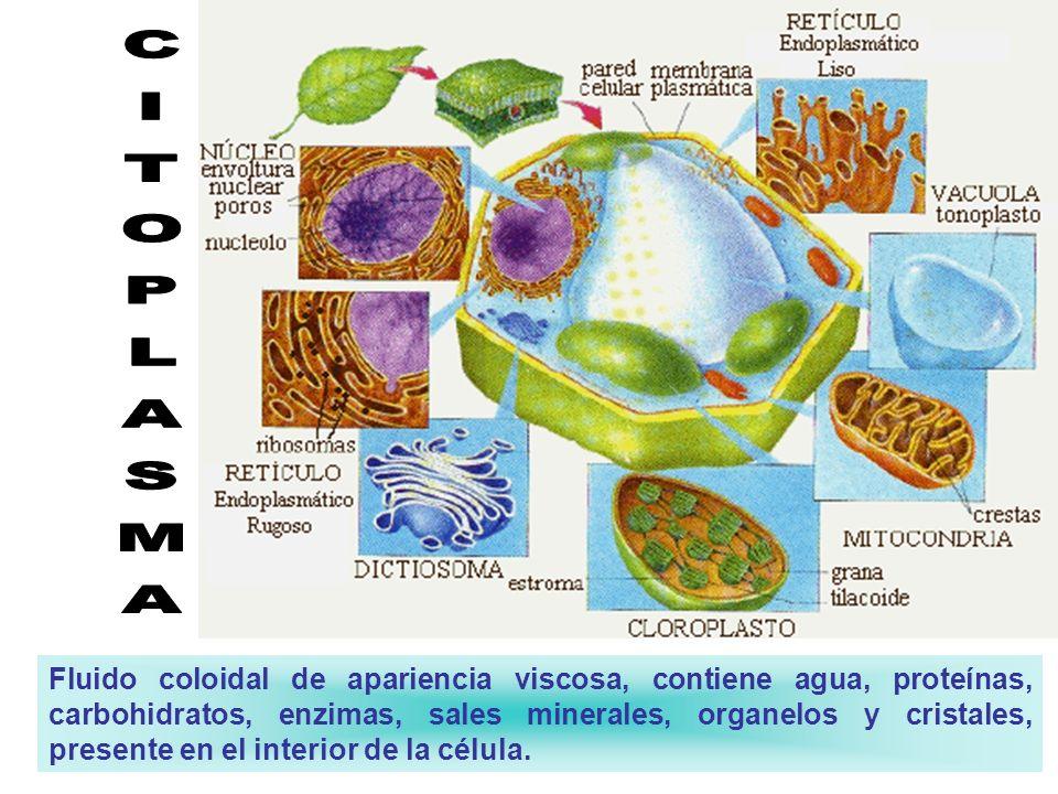Citoplasma. El citoplasma es un medio acuoso, de apariencia viscosa, en donde están disueltas muchas sustancias alimenticias. En este medio encontramo