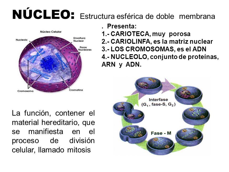 Fluido coloidal de apariencia viscosa, contiene agua, proteínas, carbohidratos, enzimas, sales minerales, organelos y cristales, presente en el interi