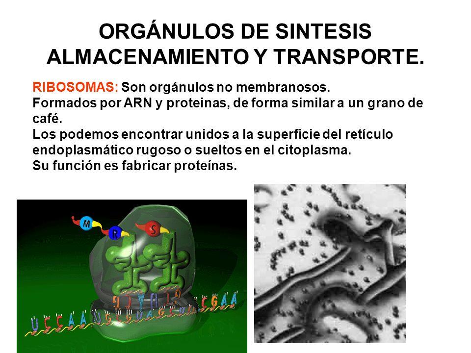 NÚCLEO: Estructura esférica de doble membrana. Presenta: 1.- CARIOTECA, muy porosa 2.- CARIOLINFA, es la matriz nuclear 3.- LOS CROMOSOMAS, es el ADN