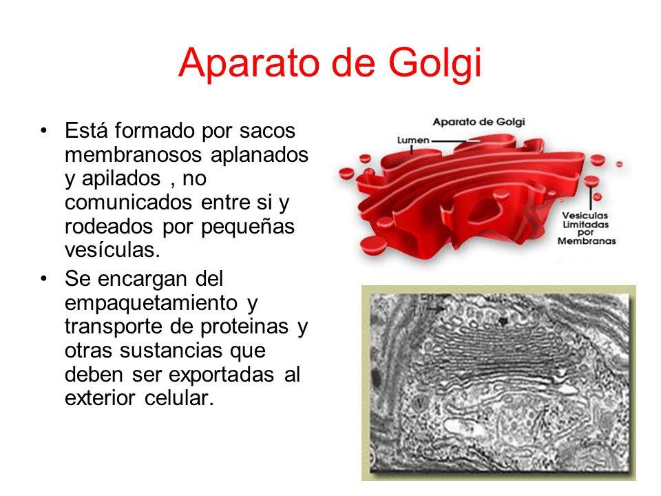 ORGÁNULOS DE SINTESIS ALMACENAMIENTO Y TRANSPORTE. Retículo endoplasmático: Conjunto de sacos membrano- sos que forman cavidades comunicados entre si.