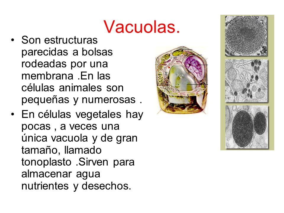Aparato de Golgi Está formado por sacos membranosos aplanados y apilados, no comunicados entre si y rodeados por pequeñas vesículas. Se encargan del e