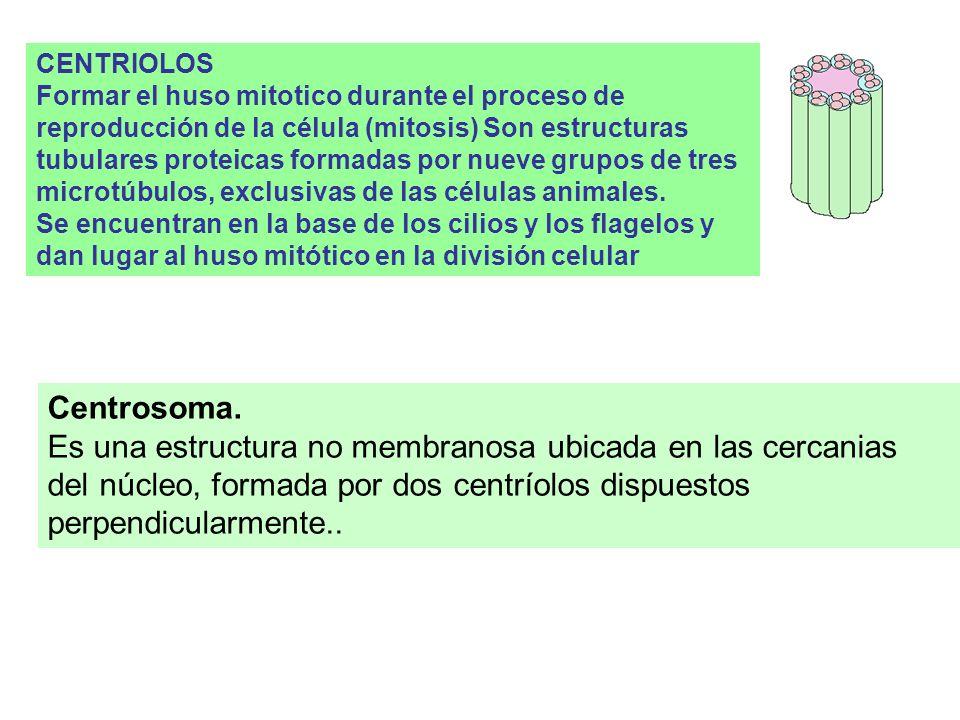PEROXISOMAS: Vesículas relativamente grandes, unimembranosas, con enzimas oxidativas; oxidasas que remueven el hidrógeno de pequeñas moléculas orgánic