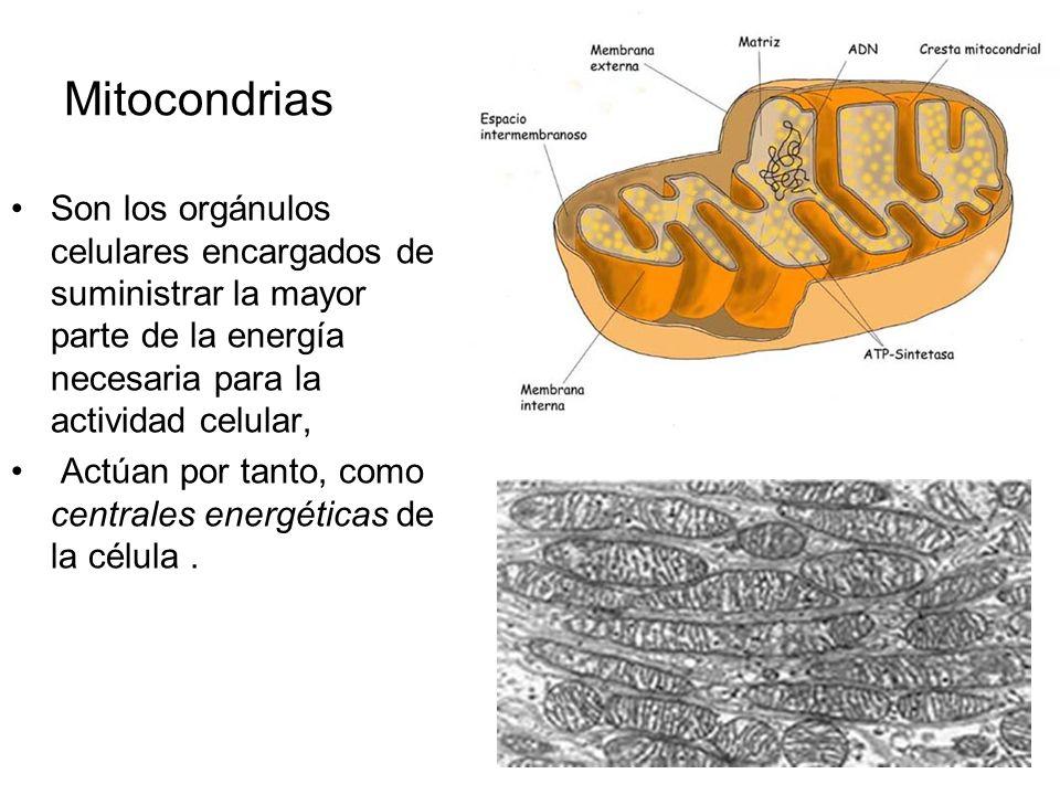 Orgánulos de transformación de energía. MITOCONDRIAS. Células animales y vegetales CLOROPLASTOS. Solo en células vegetales.