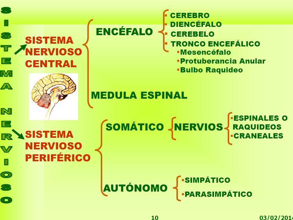 03/02/201410 SISTEMA NERVIOSO CENTRAL SISTEMA NERVIOSO PERIFÉRICO ENCÉFALO Mesencéfalo Protuberancia Anular Bulbo Raquideo SOMÁTICONERVIOS ESPINALES O