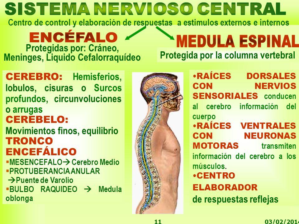 03/02/201411 Centro de control y elaboración de respuestas a estimulos externos e internos RAÍCES DORSALES CON NERVIOS SENSORIALES conducen al cerebro