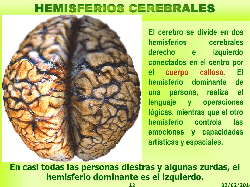 03/02/201412 El cerebro se divide en dos hemisferios cerebrales derecho e izquierdo conectados en el centro por el cuerpo calloso. El hemisferio domin