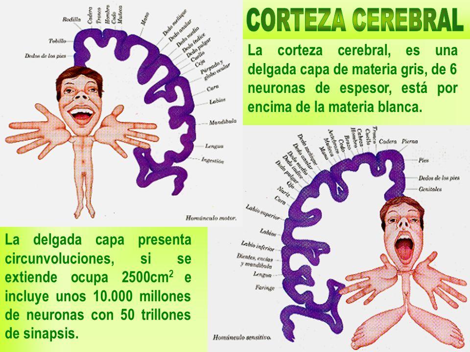 03/02/201417 La corteza cerebral, es una delgada capa de materia gris, de 6 neuronas de espesor, está por encima de la materia blanca. La delgada capa