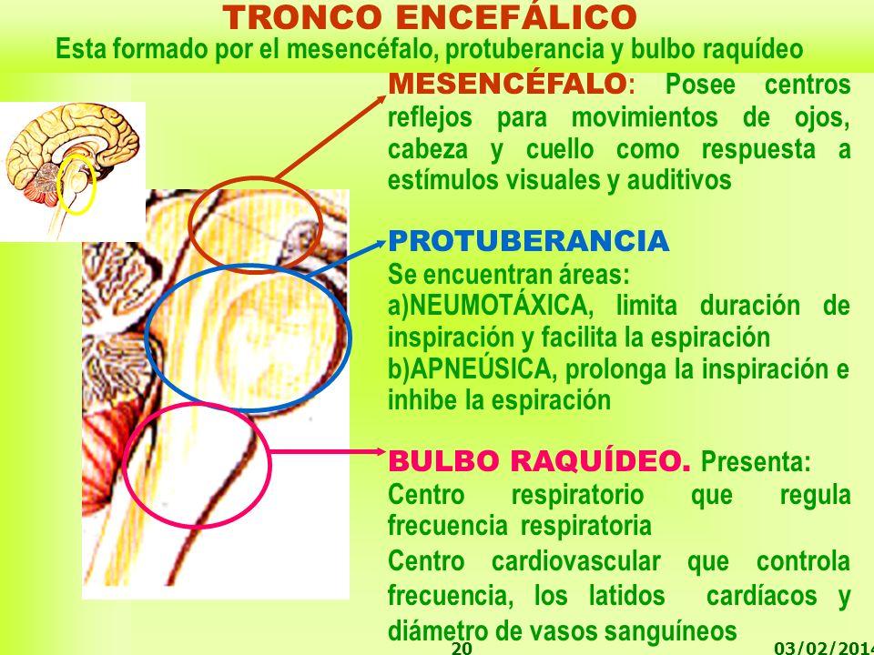 03/02/201420 MESENCÉFALO : Posee centros reflejos para movimientos de ojos, cabeza y cuello como respuesta a estímulos visuales y auditivos PROTUBERAN