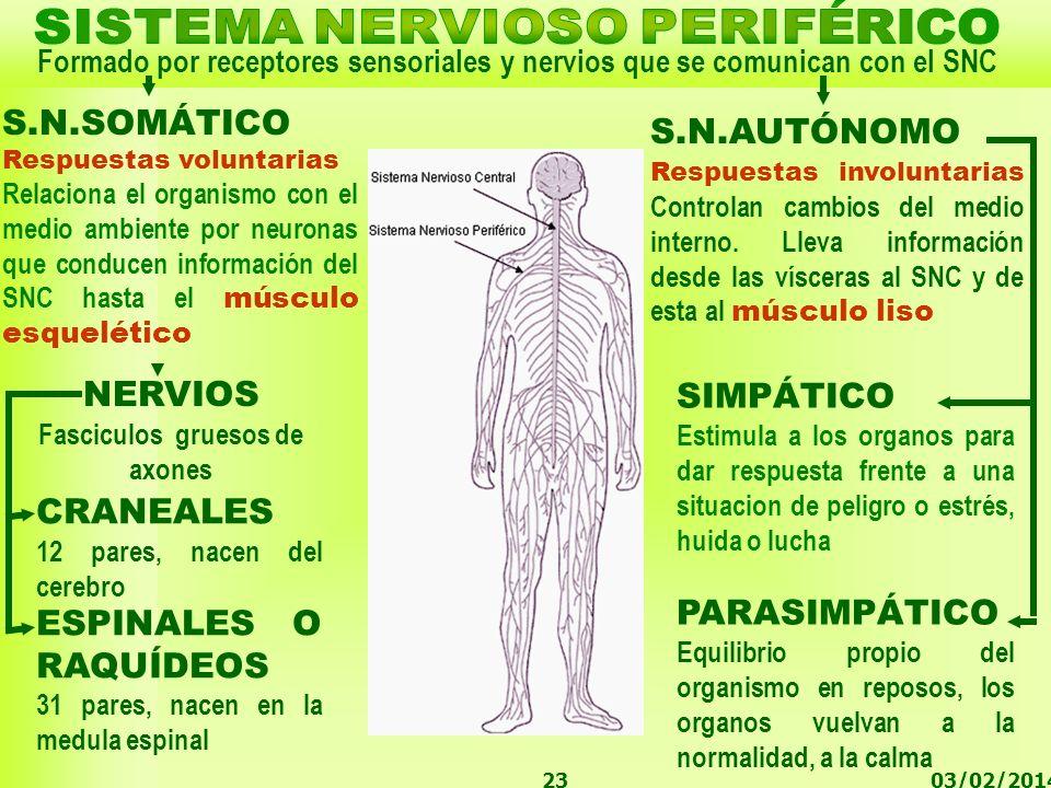 03/02/201423 Formado por receptores sensoriales y nervios que se comunican con el SNC S.N.AUTÓNOMO Respuestas involuntarias Controlan cambios del medi