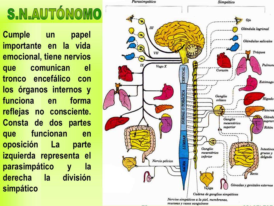 03/02/201425 Cumple un papel importante en la vida emocional, tiene nervios que comunican el tronco encefálico con los órganos internos y funciona en
