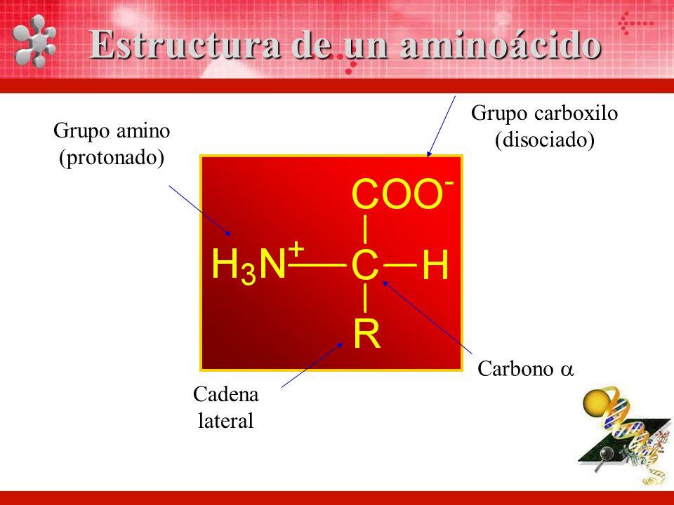 Grupo carboxilo (disociado) Grupo amino (protonado) Cadena lateral Carbono Estructura de un aminoácido