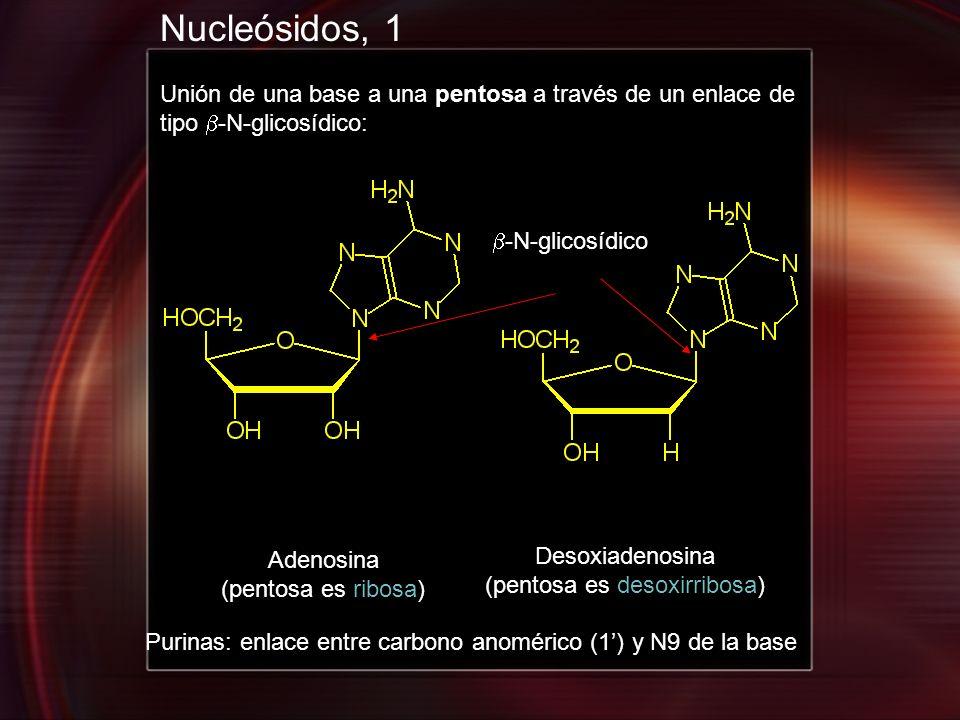 Nucleósidos, 1 Unión de una base a una pentosa a través de un enlace de tipo -N-glicosídico: Adenosina (pentosa es ribosa) Desoxiadenosina (pentosa es