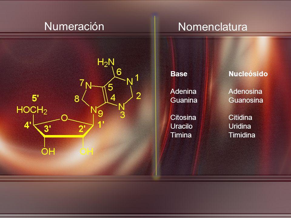 Numeración BaseNucleósido AdeninaAdenosina GuaninaGuanosina CitosinaCitidina UraciloUridina TiminaTimidina Nomenclatura