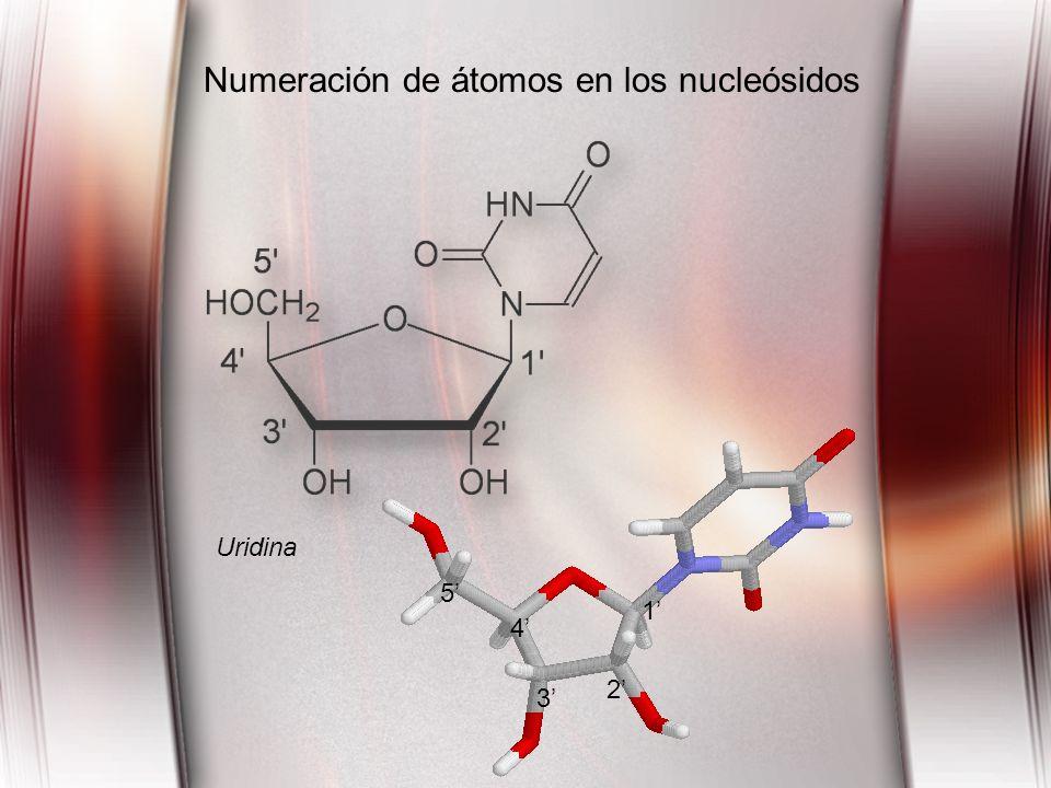 Uridina 1 2 3 4 5 Numeración de átomos en los nucleósidos