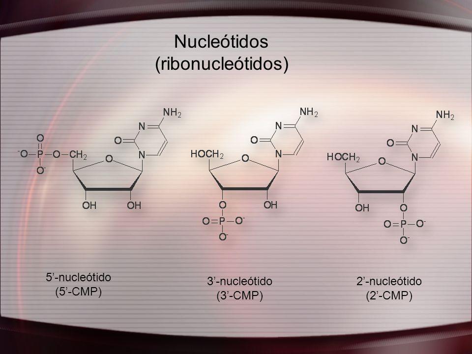 Nucleótidos (ribonucleótidos) 5-nucleótido (5-CMP) 3-nucleótido (3-CMP) 2-nucleótido (2-CMP)
