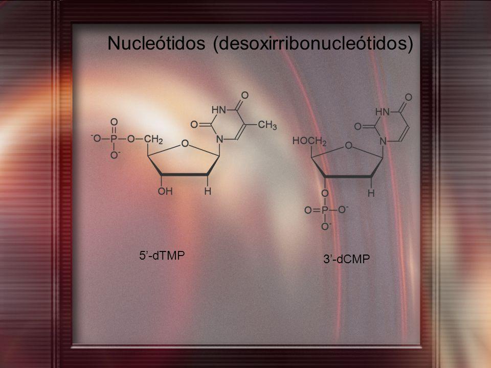 Nucleótidos (desoxirribonucleótidos) 5-dTMP 3-dCMP