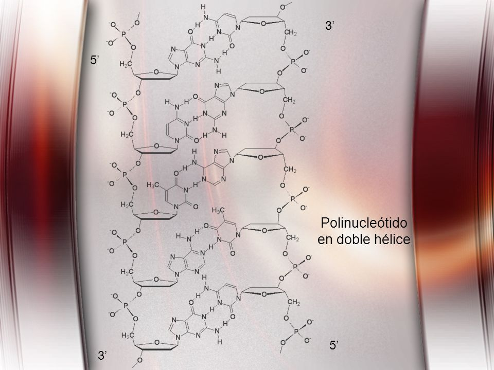 5 3 5 3 Polinucleótido en doble hélice