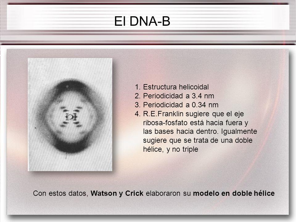 1. Estructura helicoidal 2. Periodicidad a 3.4 nm 3. Periodicidad a 0.34 nm 4. R.E.Franklin sugiere que el eje ribosa-fosfato está hacia fuera y las b