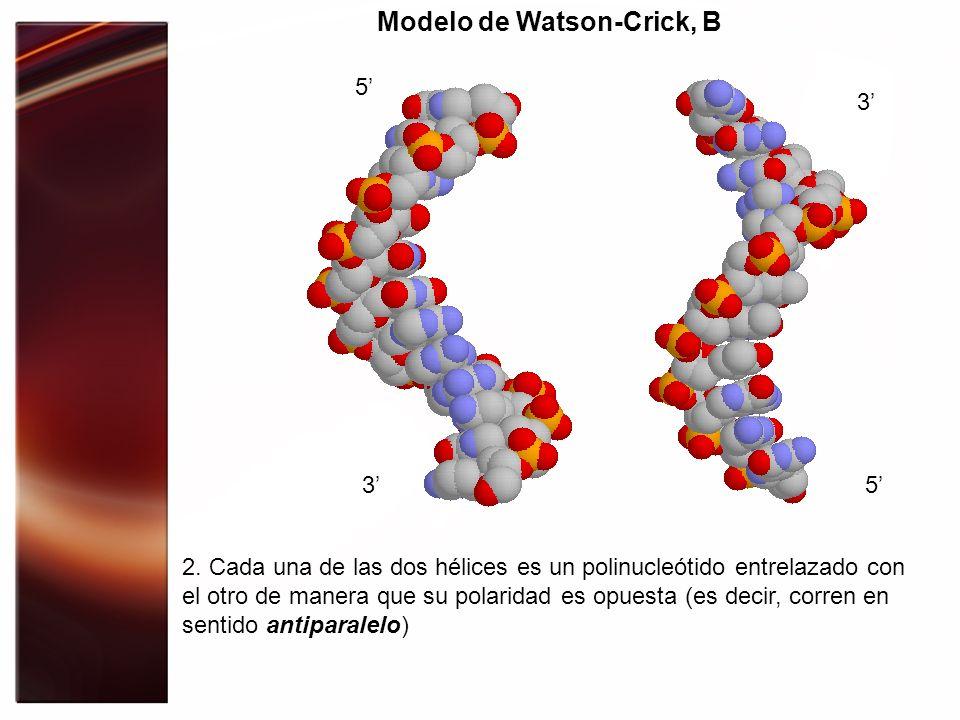 Modelo de Watson-Crick, B 2. Cada una de las dos hélices es un polinucleótido entrelazado con el otro de manera que su polaridad es opuesta (es decir,
