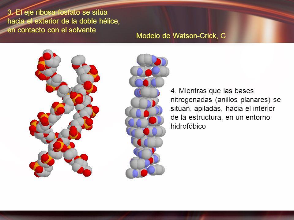 3. El eje ribosa-fosfato se sitúa hacia el exterior de la doble hélice, en contacto con el solvente 4. Mientras que las bases nitrogenadas (anillos pl