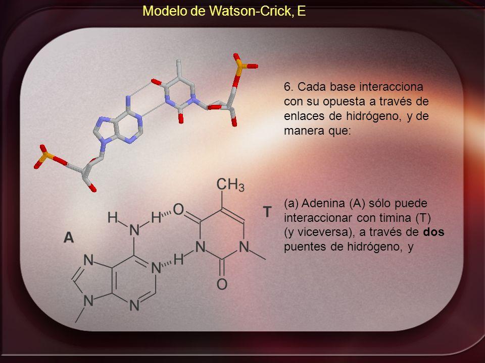 Modelo de Watson-Crick, E 6. Cada base interacciona con su opuesta a través de enlaces de hidrógeno, y de manera que: (a) Adenina (A) sólo puede inter
