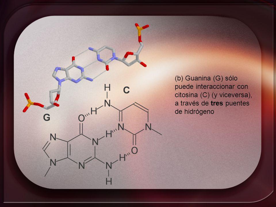 (b) Guanina (G) sólo puede interaccionar con citosina (C) (y viceversa), a través de tres puentes de hidrógeno