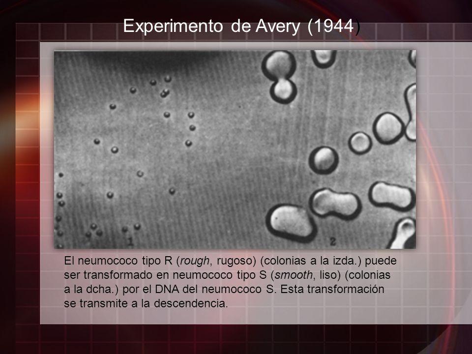 Experimento de Avery (1944) El neumococo tipo R (rough, rugoso) (colonias a la izda.) puede ser transformado en neumococo tipo S (smooth, liso) (colon