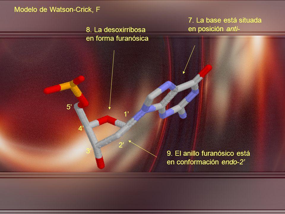 3 2 1 5 4 7. La base está situada en posición anti- 8. La desoxirribosa en forma furanósica 9. El anillo furanósico está en conformación endo-2 Modelo