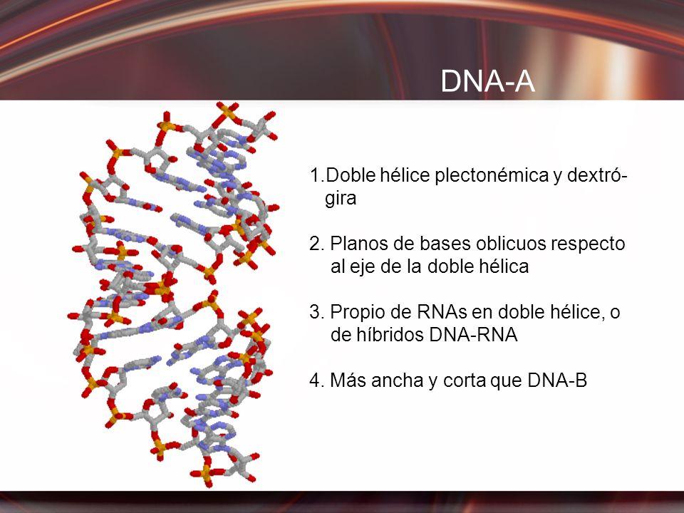 DNA-A 1.Doble hélice plectonémica y dextró- gira 2. Planos de bases oblicuos respecto al eje de la doble hélica 3. Propio de RNAs en doble hélice, o d
