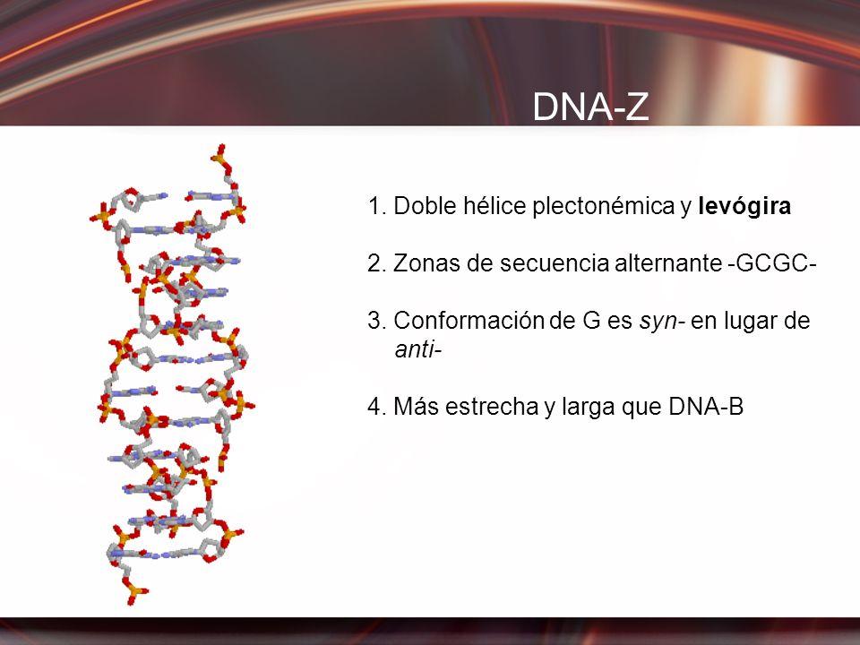 DNA-Z 1. Doble hélice plectonémica y levógira 2. Zonas de secuencia alternante -GCGC- 3. Conformación de G es syn- en lugar de anti- 4. Más estrecha y