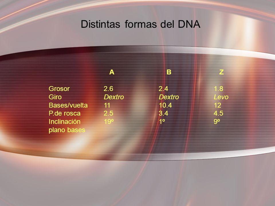 A B Z Grosor2.62.41.8 GiroDextroDextroLevo Bases/vuelta1110.412 P.de rosca2.53.44.5 Inclinación19º1º9º plano bases Distintas formas del DNA