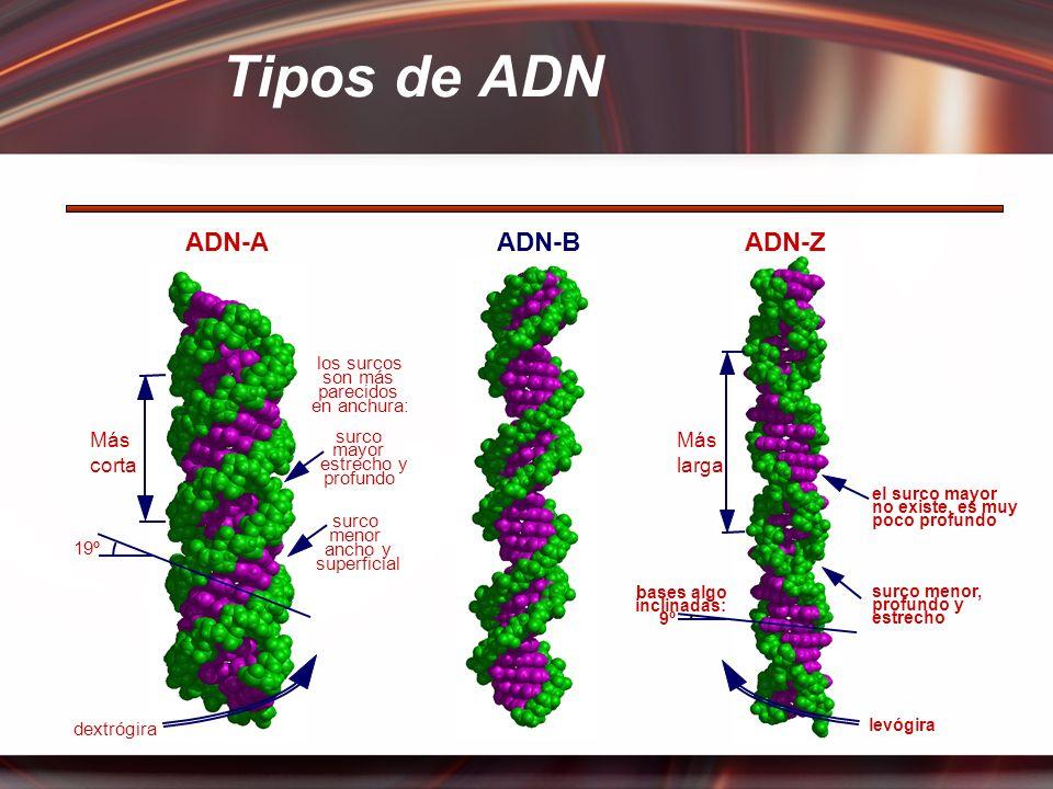 bases algo inclinadas: 9º levógira surco menor, profundo y estrecho el surco mayor no existe, es muy poco profundo ADN-AADN-BADN-Z surco menor ancho y