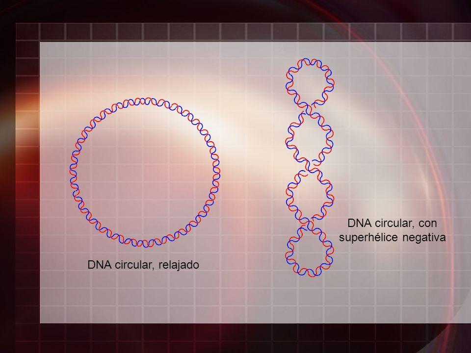DNA circular, relajado DNA circular, con superhélice negativa