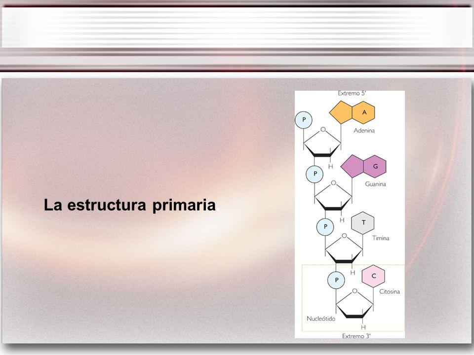 La estructura primaria.