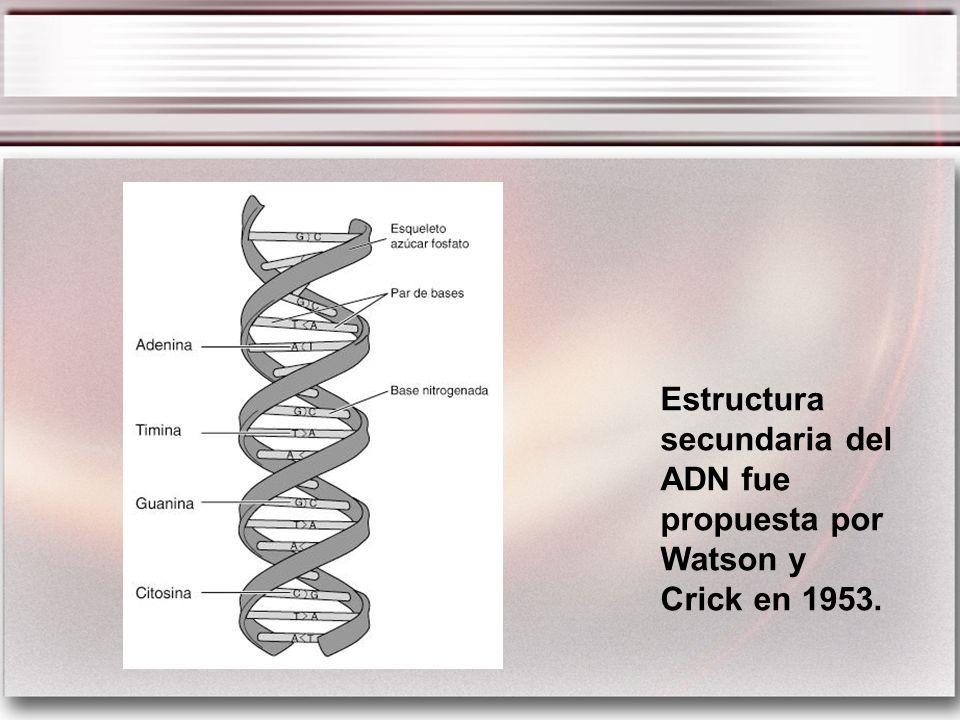 Estructura secundaria del ADN fue propuesta por Watson y Crick en 1953.