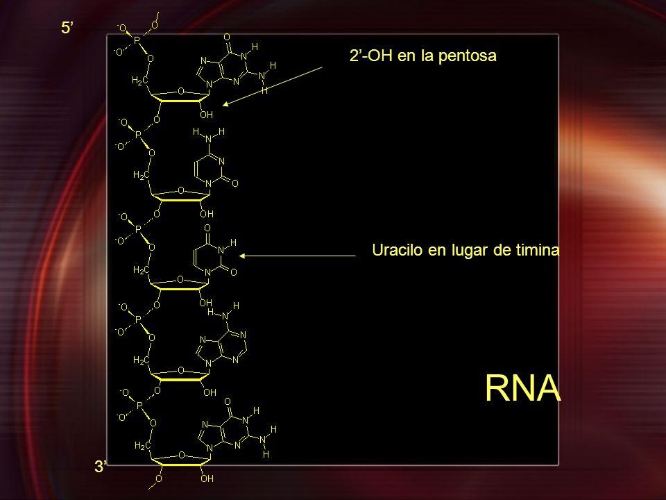 Uracilo en lugar de timina 2-OH en la pentosa 5 3 RNA
