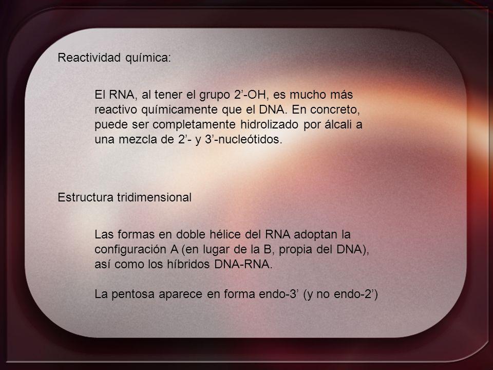 Reactividad química: El RNA, al tener el grupo 2-OH, es mucho más reactivo químicamente que el DNA. En concreto, puede ser completamente hidrolizado p
