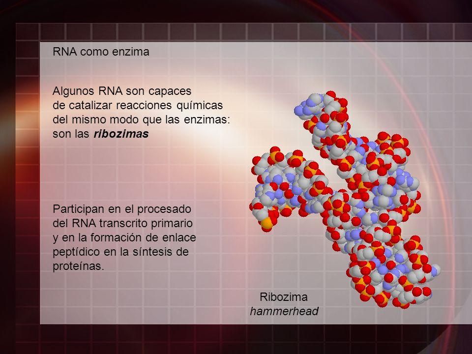 RNA como enzima Algunos RNA son capaces de catalizar reacciones químicas del mismo modo que las enzimas: son las ribozimas Ribozima hammerhead Partici