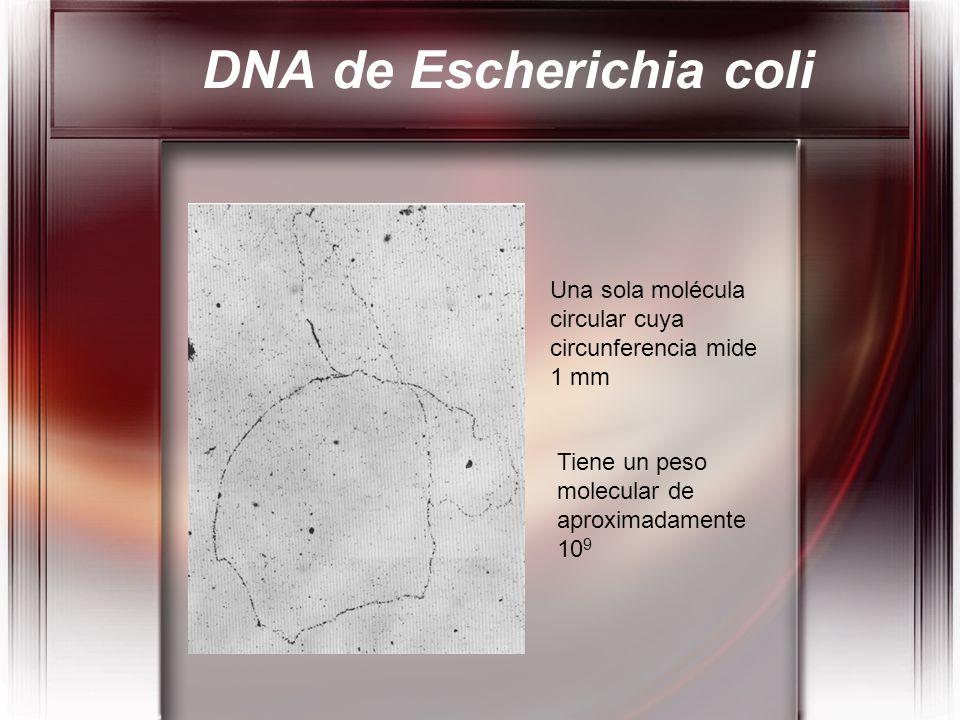 Una sola molécula circular cuya circunferencia mide 1 mm Tiene un peso molecular de aproximadamente 10 9 DNA de Escherichia coli