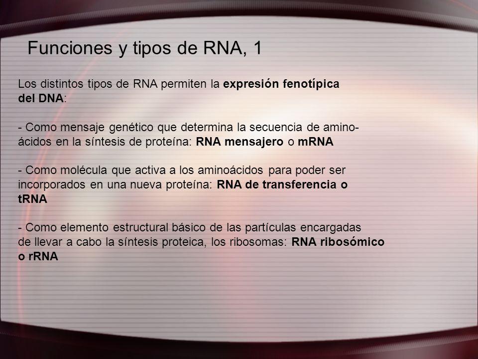 Funciones y tipos de RNA, 1 Los distintos tipos de RNA permiten la expresión fenotípica del DNA: - Como mensaje genético que determina la secuencia de