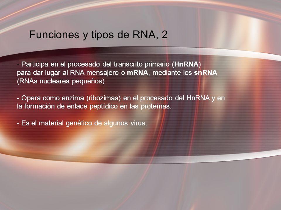 Funciones y tipos de RNA, 2 - Participa en el procesado del transcrito primario (HnRNA) para dar lugar al RNA mensajero o mRNA, mediante los snRNA (RN