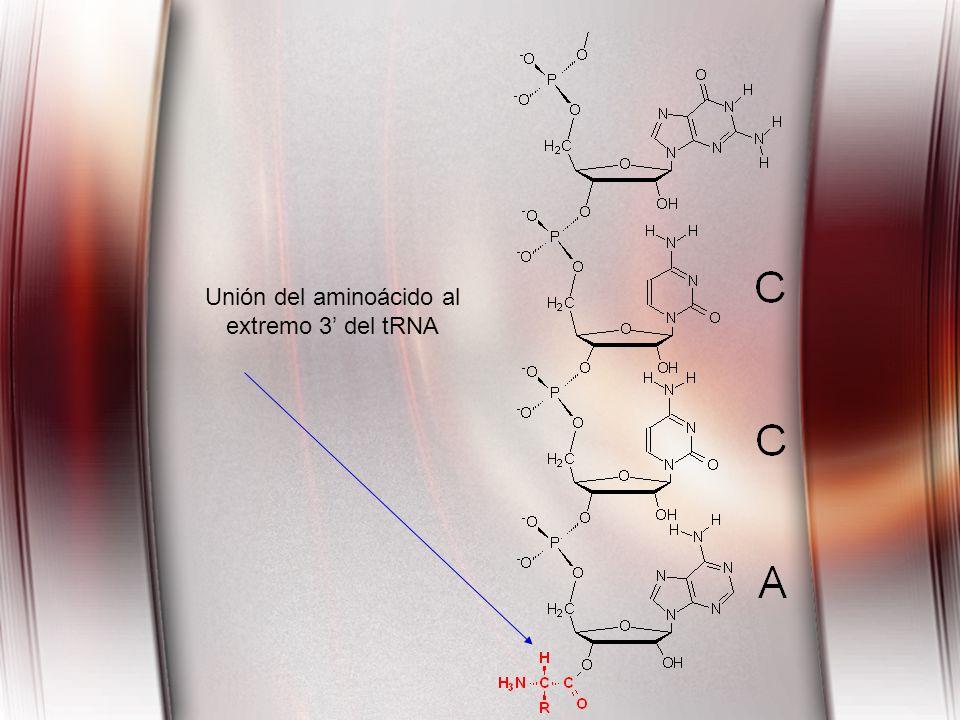 Unión del aminoácido al extremo 3 del tRNA
