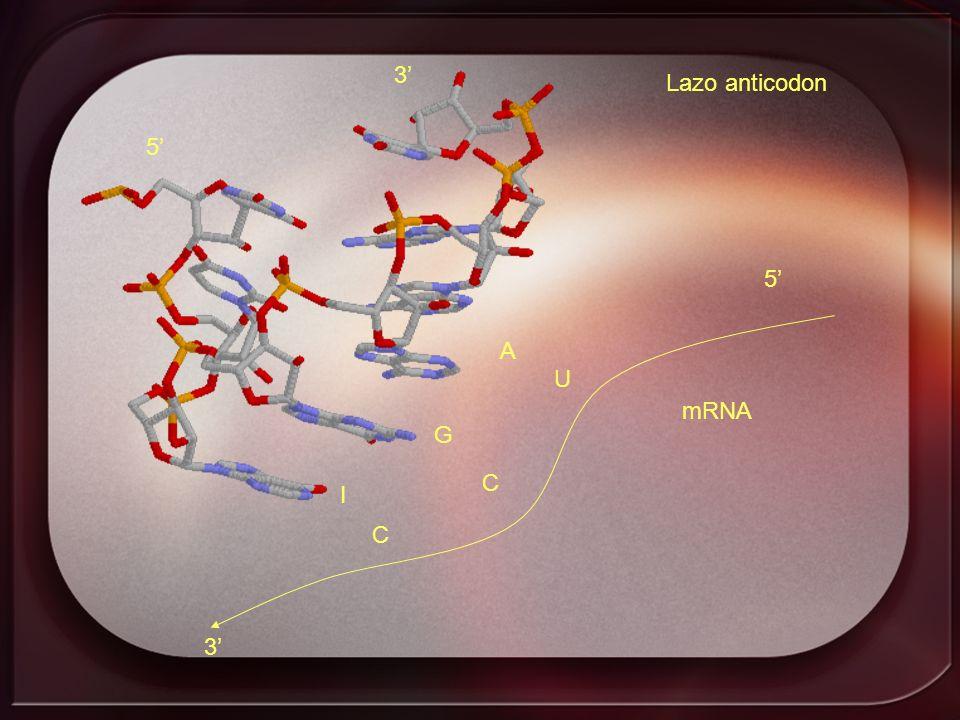 Lazo anticodon I G A 5 3 5 3 U C C mRNA