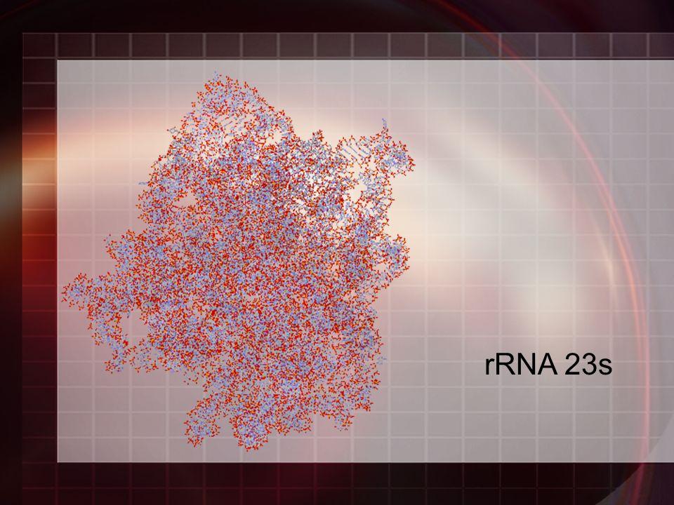 rRNA 23s