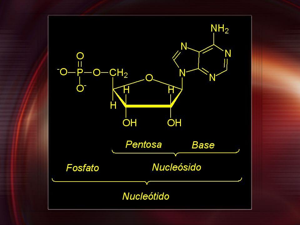 Polinucleótido Enlace fosfodiéster Enlace -glicosídico
