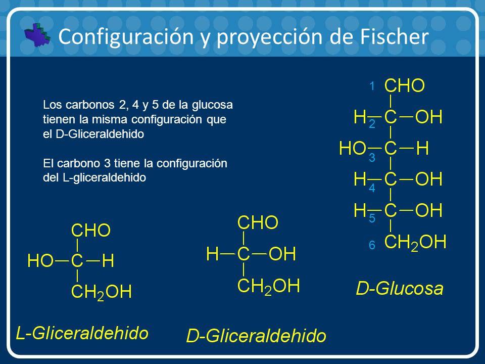 Configuración y proyección de Fischer 1 2 3 4 5 6 Los carbonos 2, 4 y 5 de la glucosa tienen la misma configuración que el D-Gliceraldehido El carbono