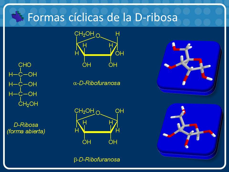 Formas cíclicas de la D-ribosa
